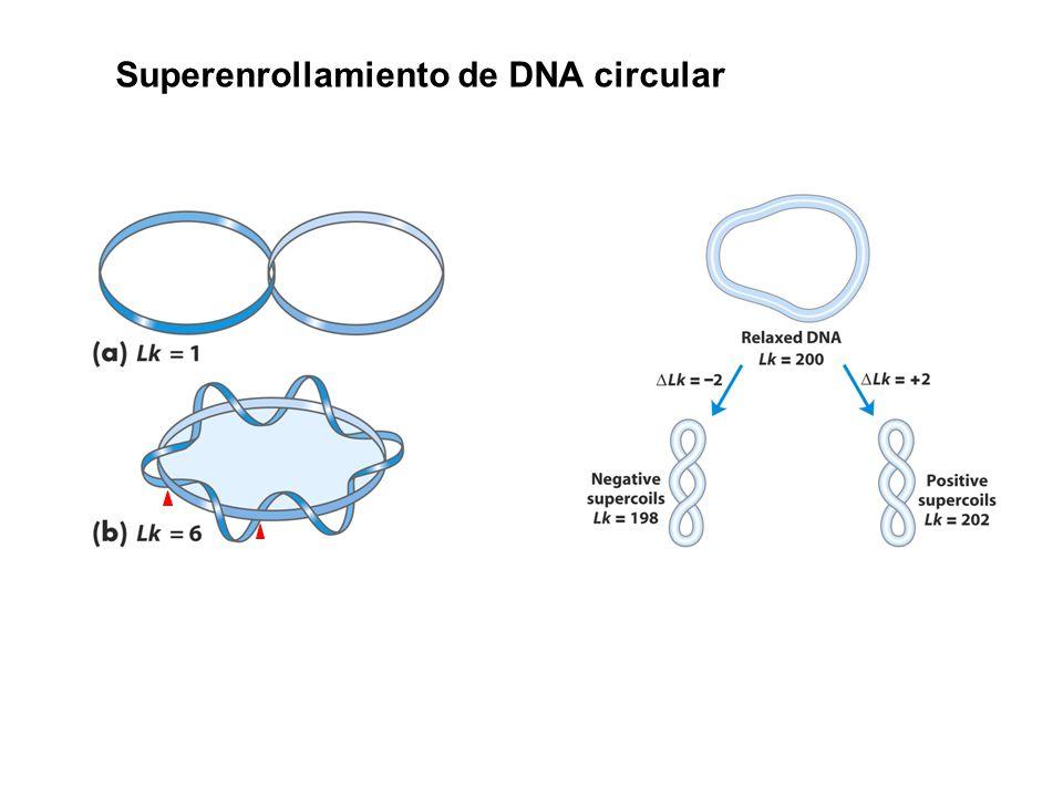 Superenrollamiento de DNA circular