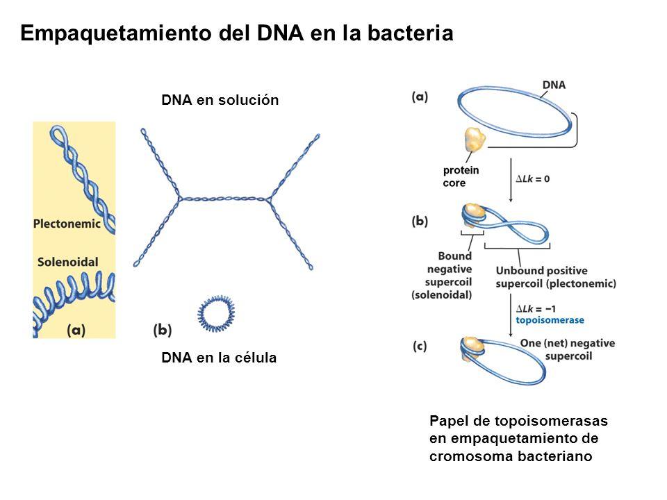 Empaquetamiento del DNA en la bacteria