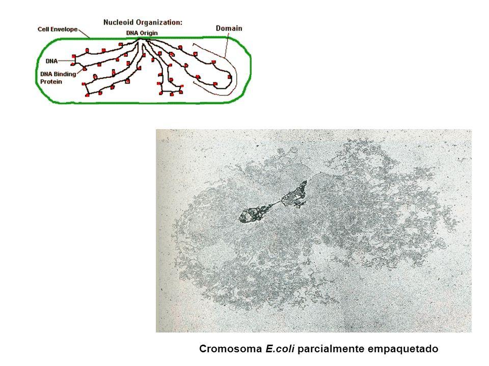 Cromosoma E.coli parcialmente empaquetado