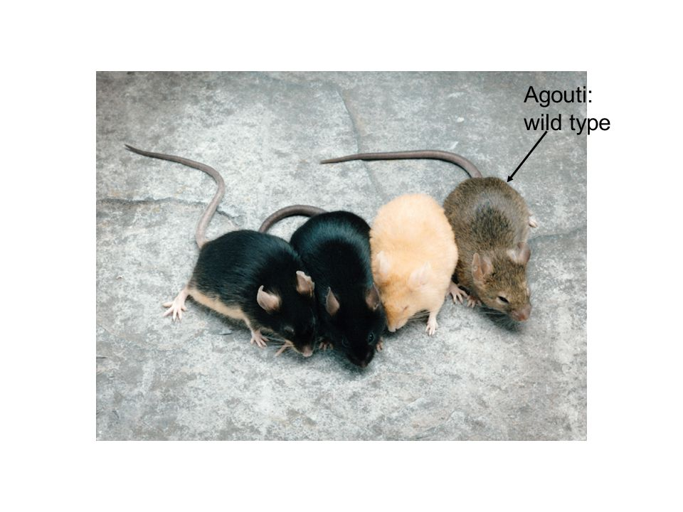 Agouti: wild type Figure: 04-00CO Caption: