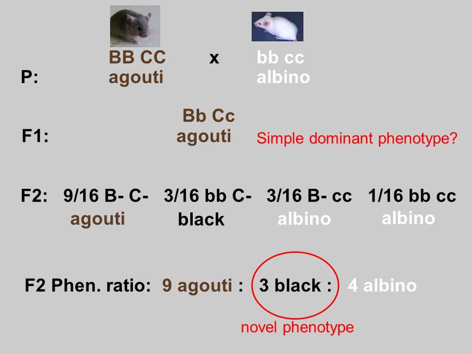 F2: 9/16 B- C- 3/16 bb C- 3/16 B- cc 1/16 bb cc agouti black albino