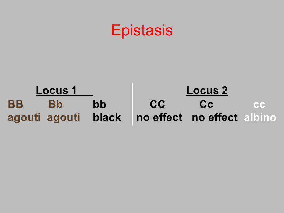 Epistasis Locus 1 Locus 2 BB Bb bb CC Cc cc