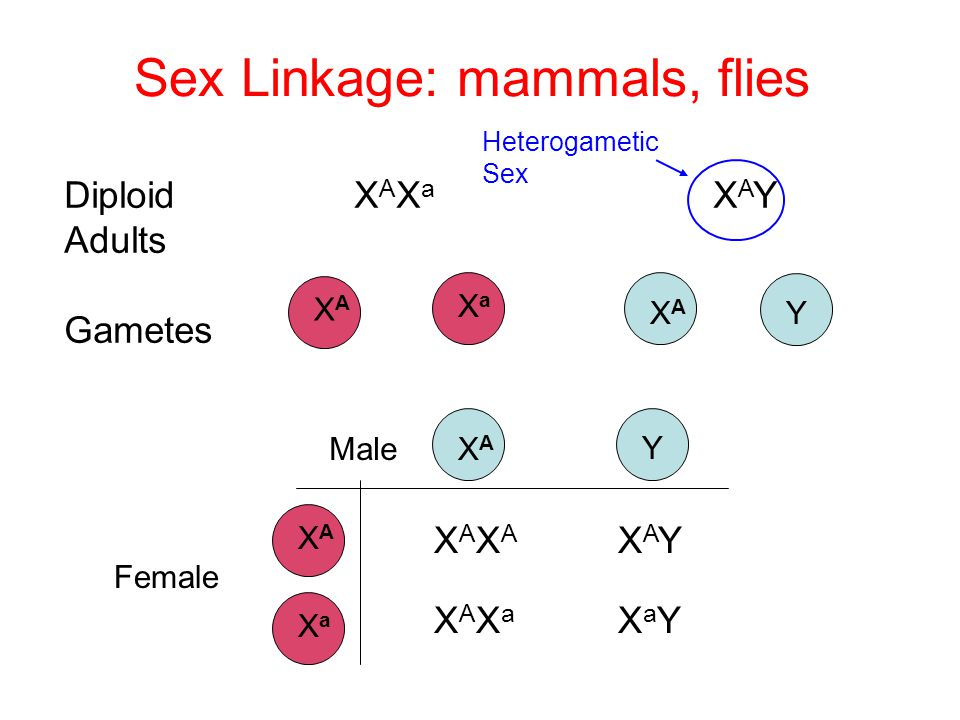 Sex Linkage: mammals, flies