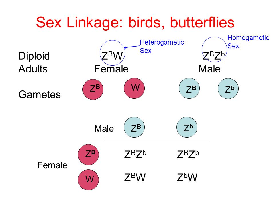 Sex Linkage: birds, butterflies