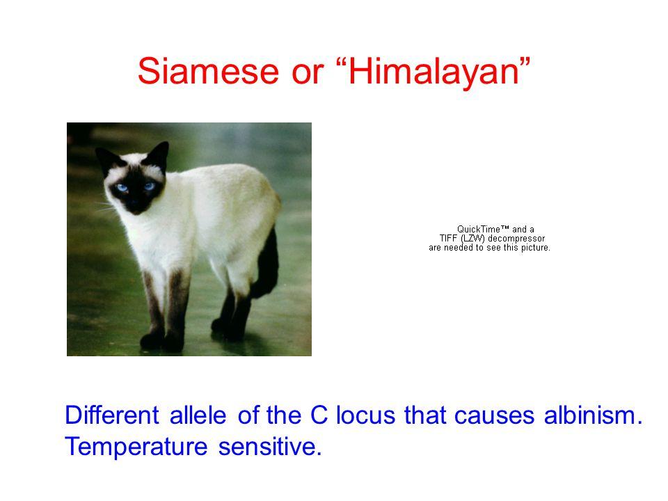 Siamese or Himalayan