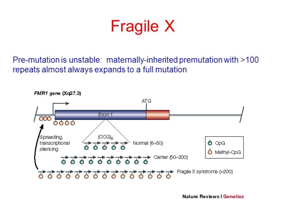 Fragile X Pre-mutation is unstable: maternally-inherited premutation with >100 repeats almost always expands to a full mutation.