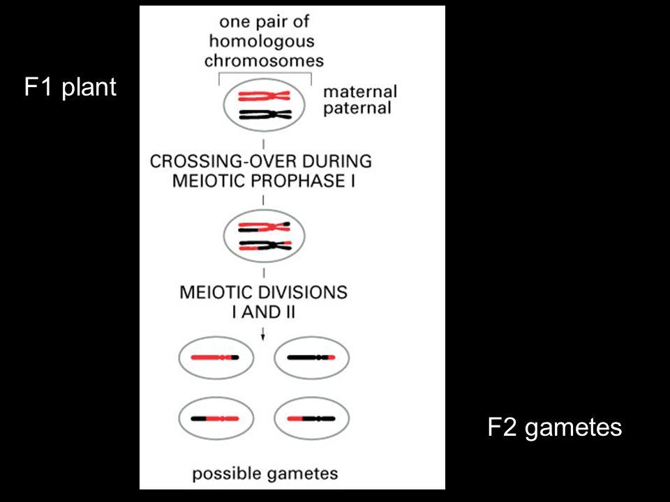 F1 plant F2 gametes
