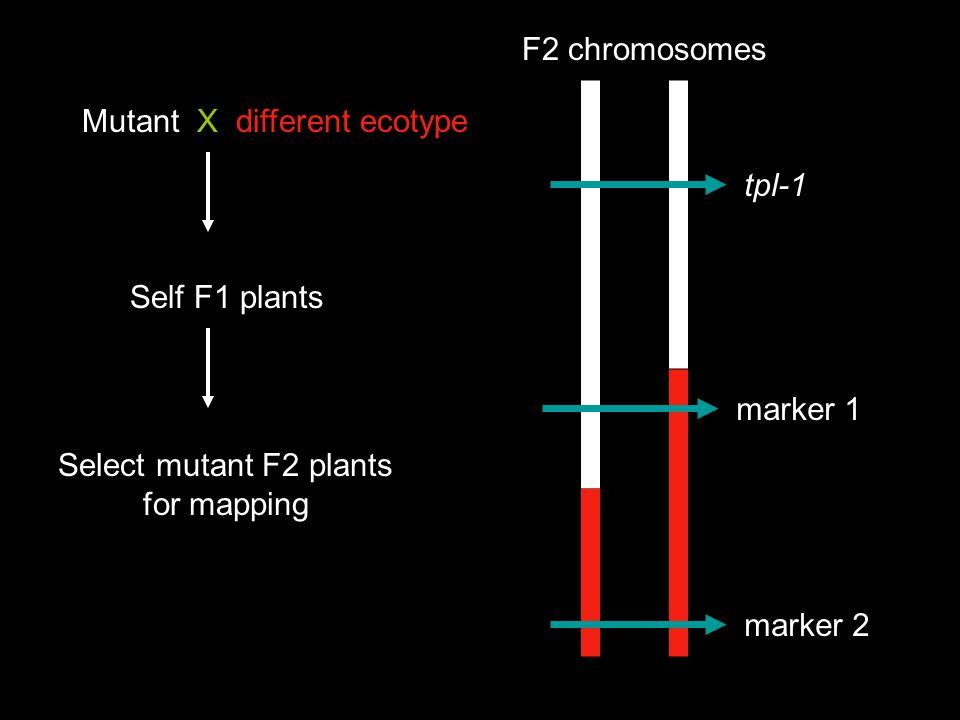 F2 chromosomes Mutant X different ecotype. tpl-1. Self F1 plants. marker 1. Select mutant F2 plants.
