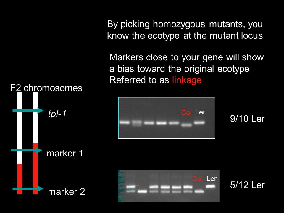 By picking homozygous mutants, you