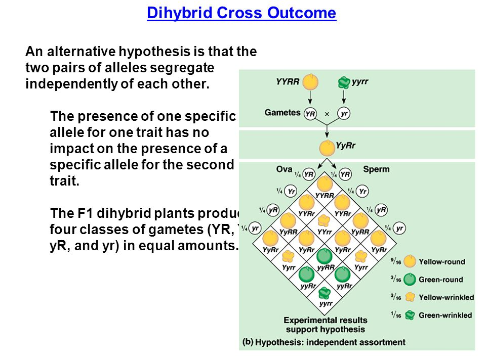 Dihybrid Cross Outcome