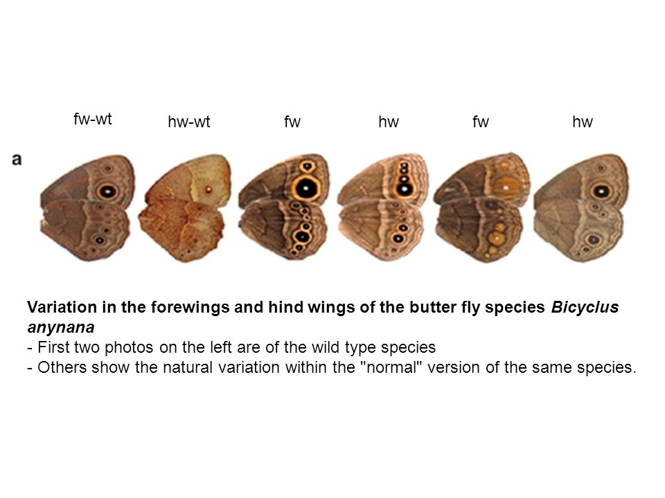 fw-wt hw-wt. fw. hw. fw. hw. Variation in the forewings and hind wings of the butter fly species Bicyclus anynana.