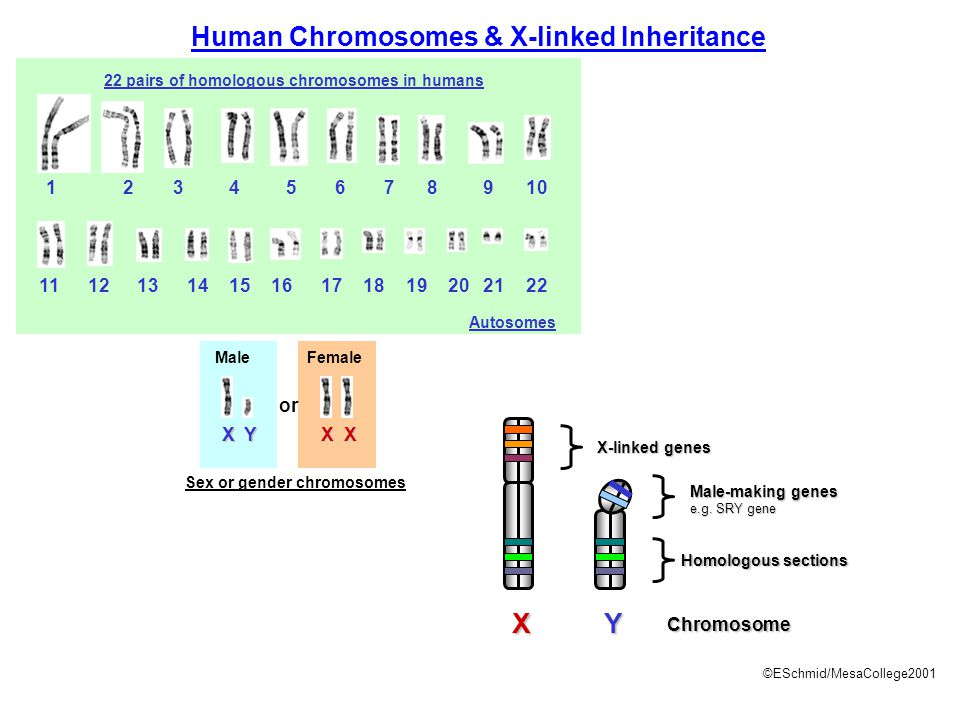 Human Chromosomes & X-linked Inheritance
