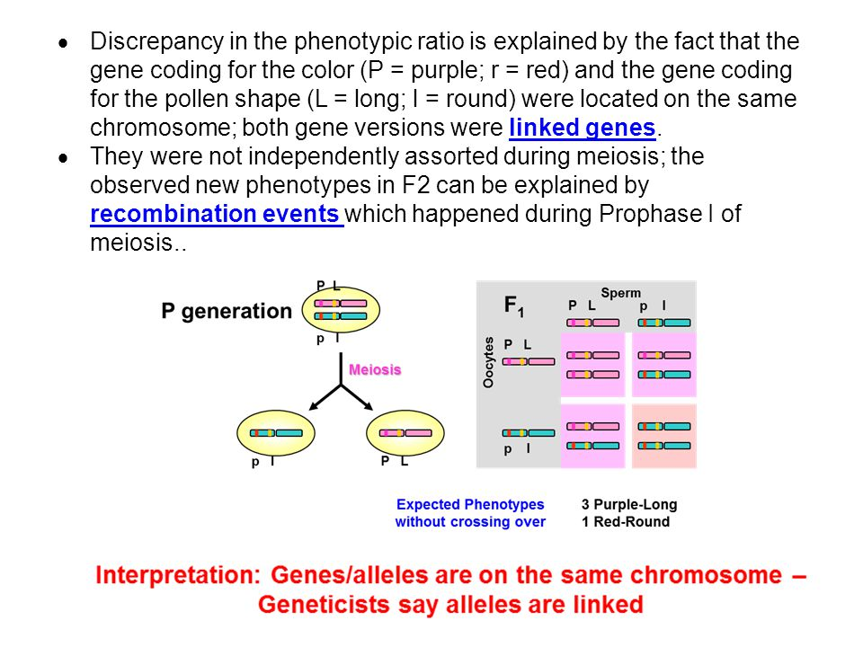 Discrepancy in the phenotypic ratio is explained by the fact that the gene coding for the color (P = purple; r = red) and the gene coding for the pollen shape (L = long; l = round) were located on the same chromosome; both gene versions were linked genes.
