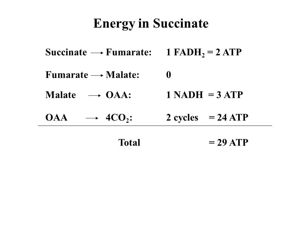 Energy in Succinate Succinate Fumarate: 1 FADH2 = 2 ATP