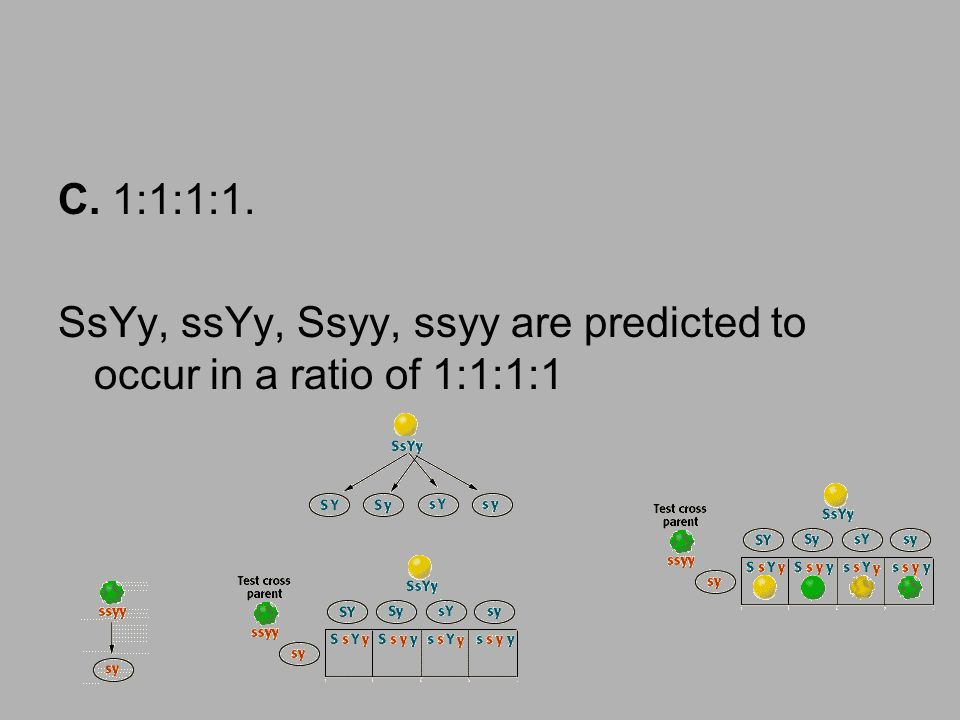 C. 1:1:1:1. SsYy, ssYy, Ssyy, ssyy are predicted to occur in a ratio of 1:1:1:1