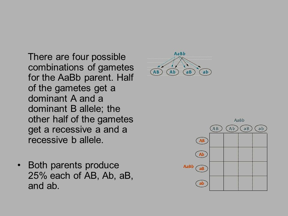 There are four possible combinations of gametes for the AaBb parent