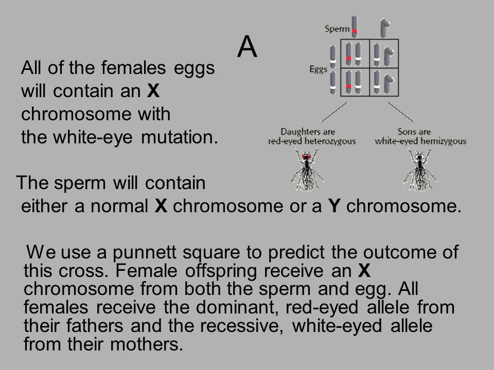 A All of the females eggs will contain an X chromosome with