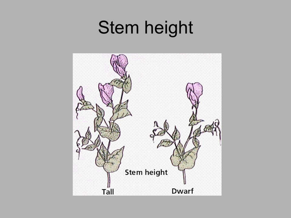 Stem height