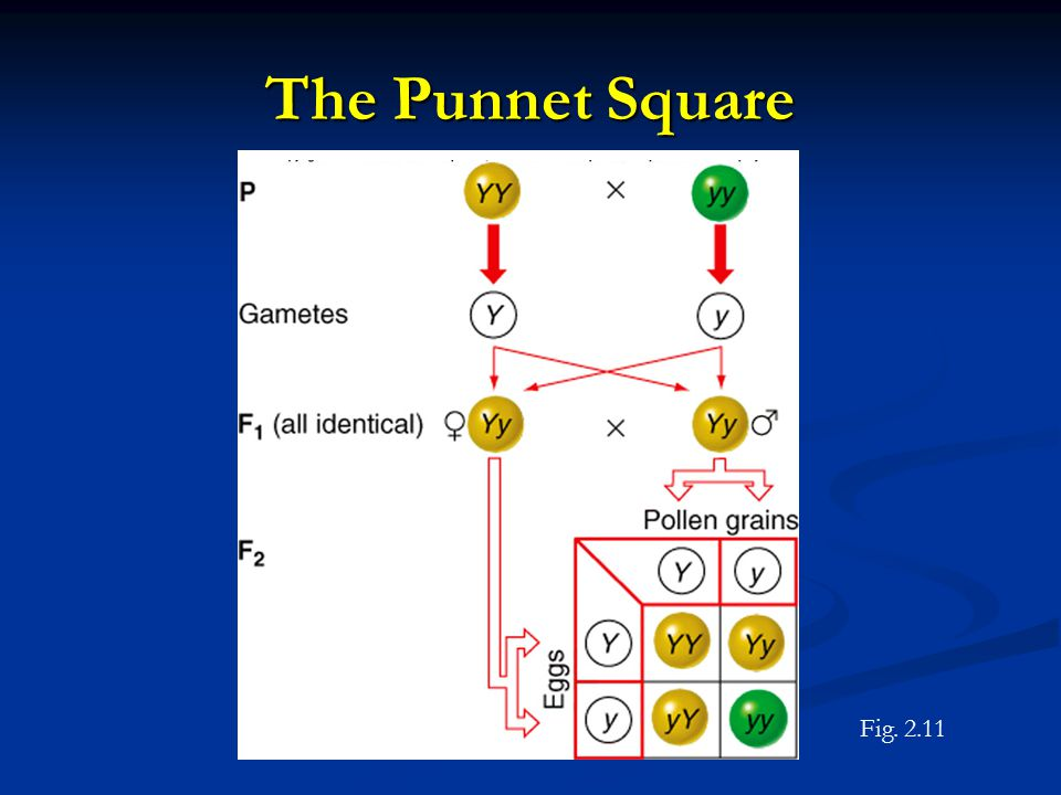 The Punnet Square Figure 2.11 Fig. 2.11