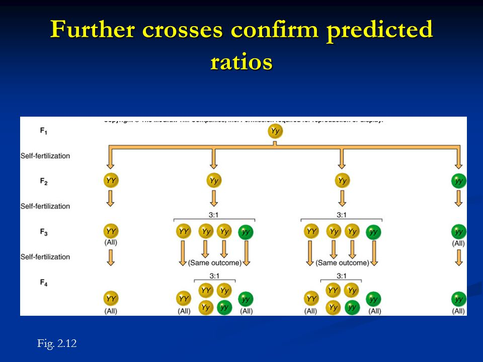Further crosses confirm predicted ratios