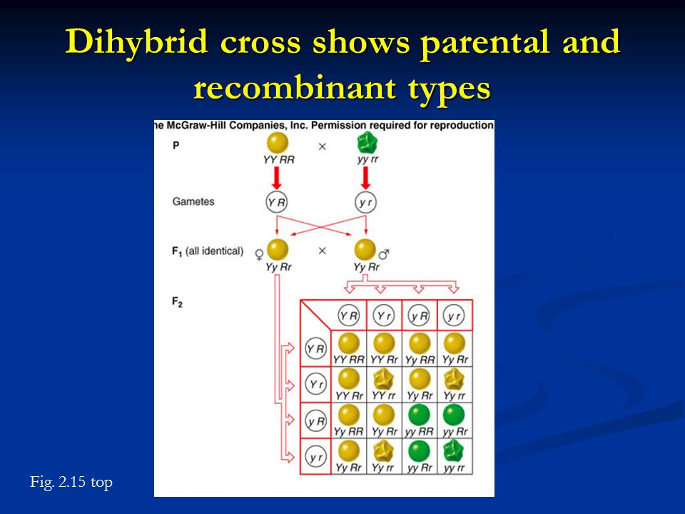 Dihybrid cross shows parental and recombinant types