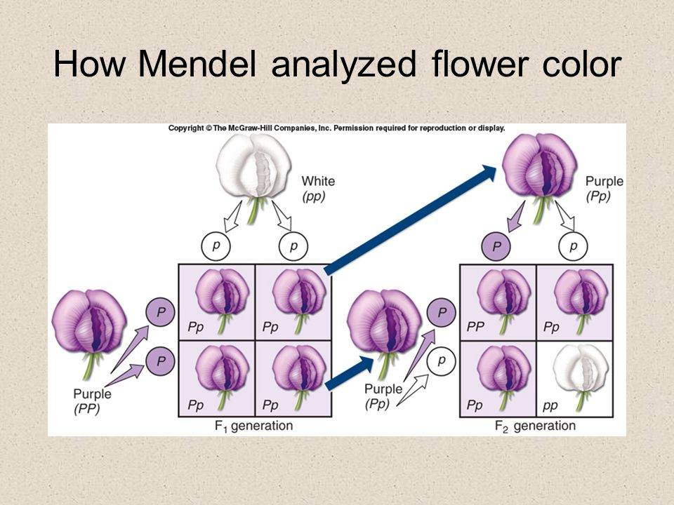How Mendel analyzed flower color