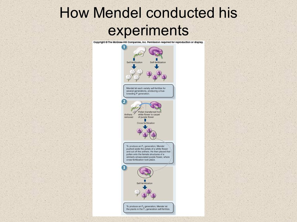 How Mendel conducted his experiments