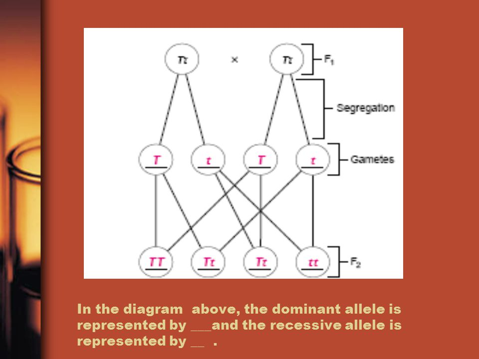In the diagram above, the dominant allele is represented by ___and the recessive allele is represented by __ .
