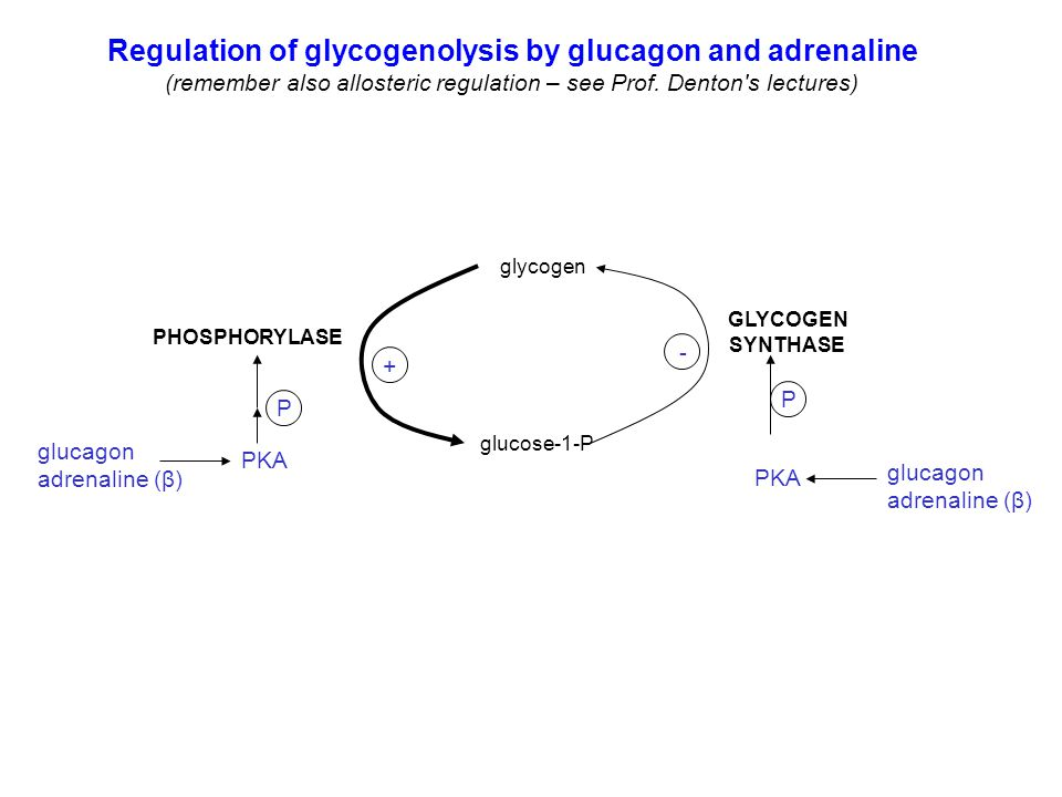 Regulation of glycogenolysis by glucagon and adrenaline