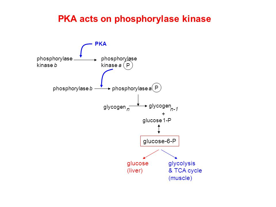 PKA acts on phosphorylase kinase