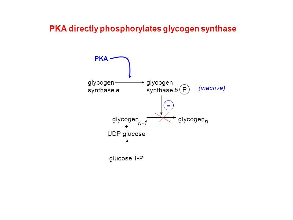 - PKA directly phosphorylates glycogen synthase PKA glycogen
