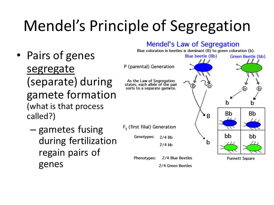 Mendel's Principle of Segregation