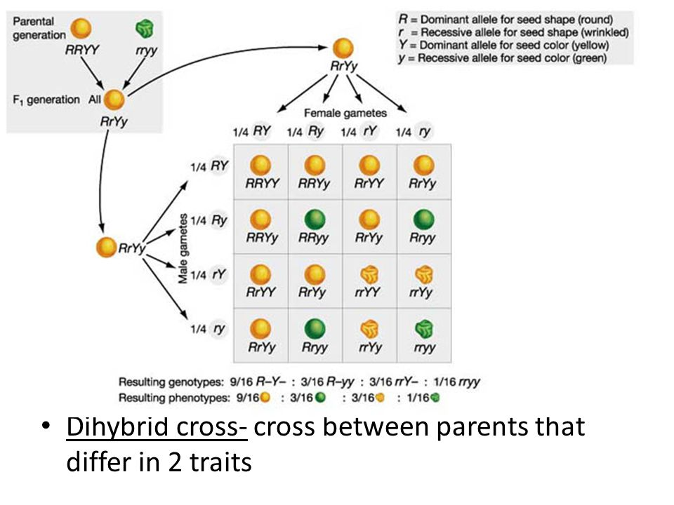 Dihybrid cross- cross between parents that differ in 2 traits