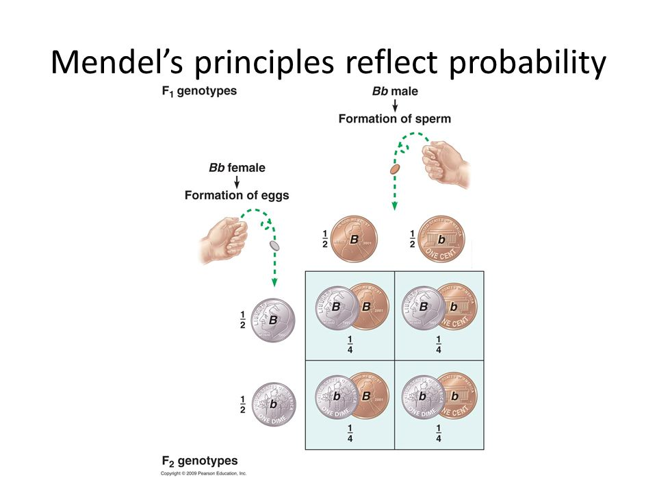 Mendel's principles reflect probability