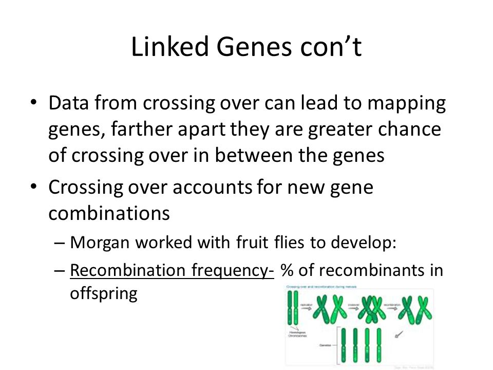 Linked Genes con't Data from crossing over can lead to mapping genes, farther apart they are greater chance of crossing over in between the genes.