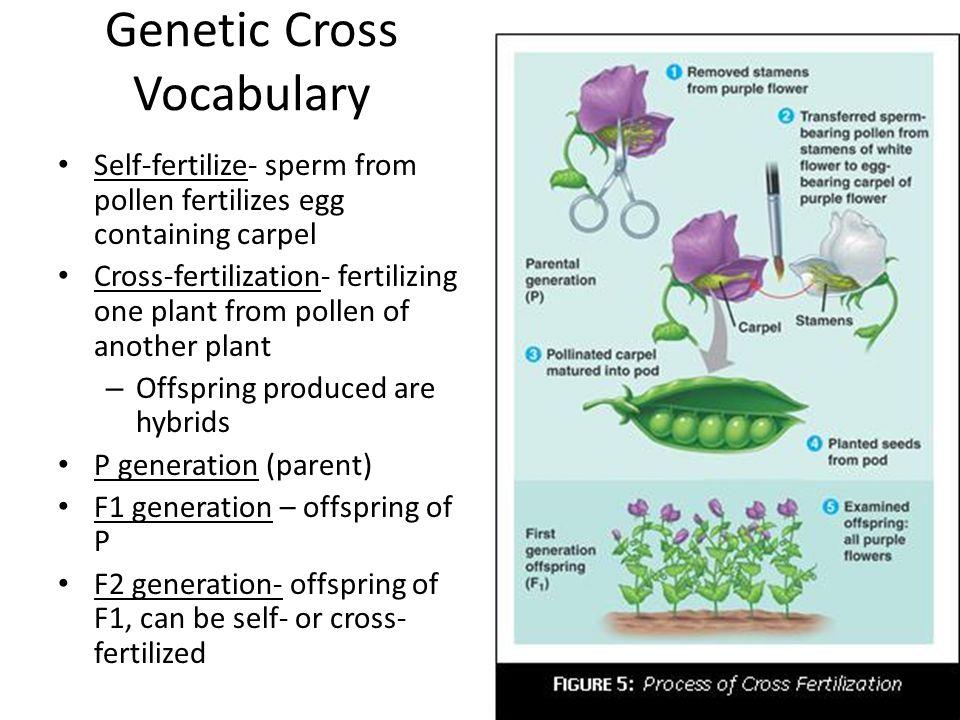 Genetic Cross Vocabulary