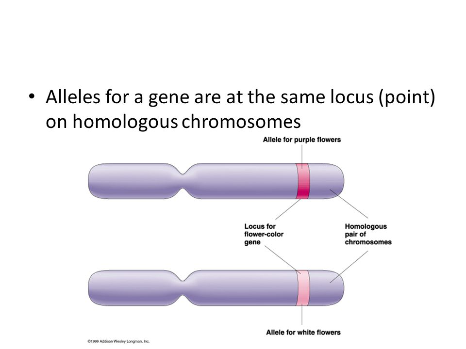 Alleles for a gene are at the same locus (point) on homologous chromosomes