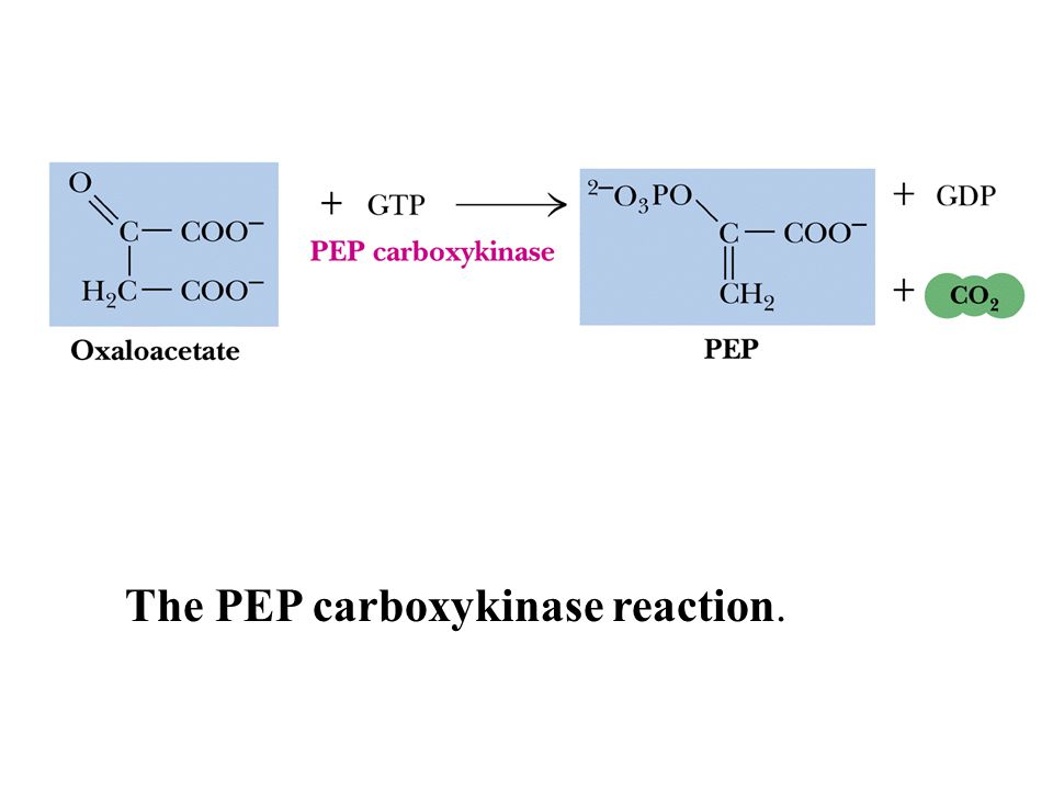 The PEP carboxykinase reaction.