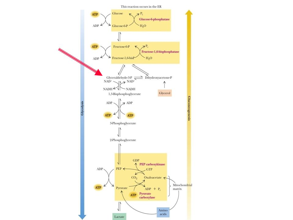 FIGURE 22. 1 The pathways of gluconeogenesis and glycolysis
