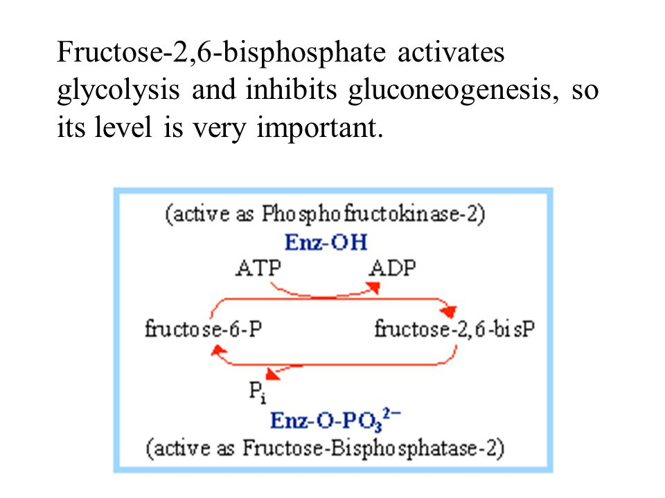 Fructose-2,6-bisphosphate activates glycolysis and inhibits gluconeogenesis, so its level is very important.