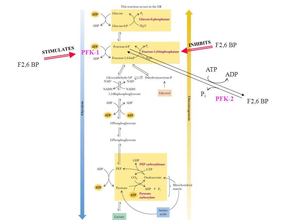 F2,6 BP PFK-1 F2,6 BP ATP ADP Pi PFK-2 F2,6 BP INHIBITS STIMULATES