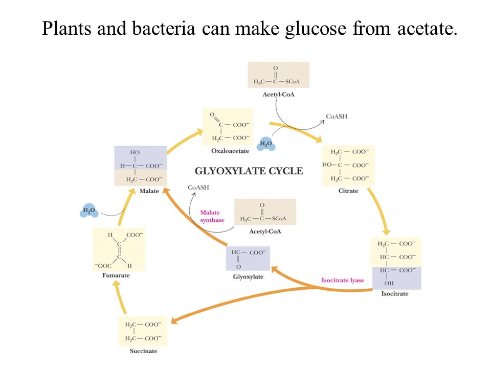 Plants and bacteria can make glucose from acetate.