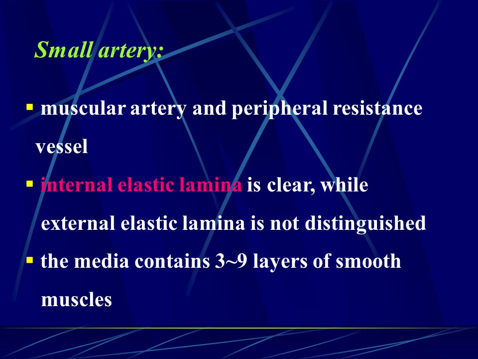 Small artery: muscular artery and peripheral resistance vessel