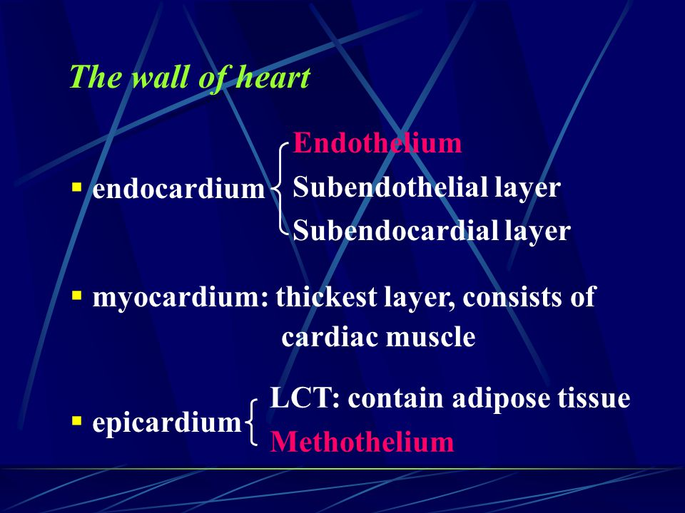 The wall of heart Endothelium Subendothelial layer
