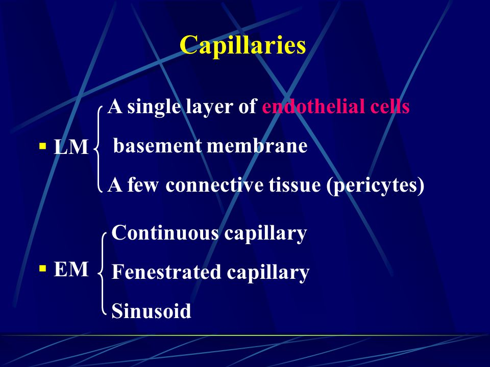 Capillaries A single layer of endothelial cells basement membrane