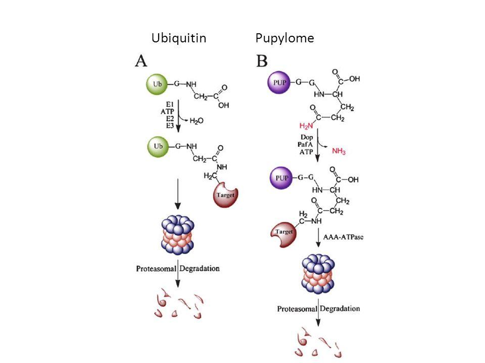 Ubiquitin Pupylome