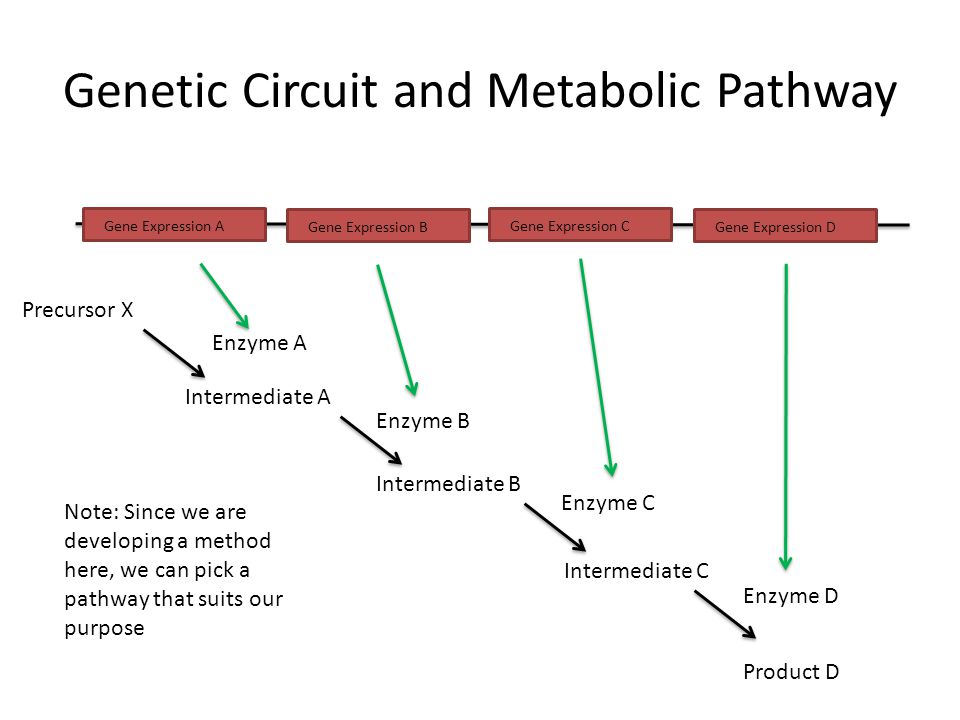 Genetic Circuit and Metabolic Pathway