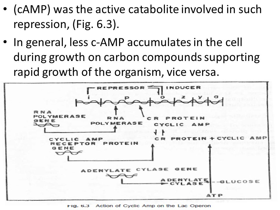 (cAMP) was the active catabolite involved in such repression, (Fig. 6