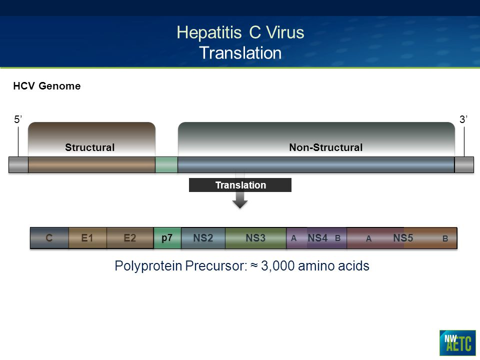 Hepatitis C Virus Translation