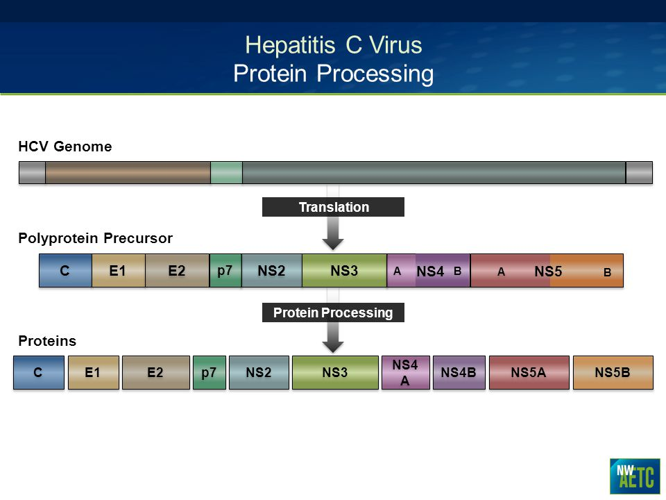 Hepatitis C Virus Protein Processing